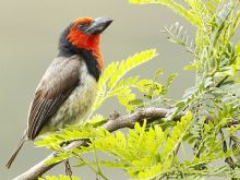 Black-Collared-Barbet
