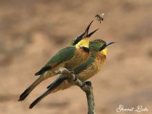 Two-Bee-Eaters-One-Bee